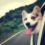 Почему собаки любят высовывать голову из окна машины?