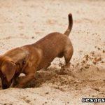 Как отучить собаку рыть ямы. Советы Цезаря Милана