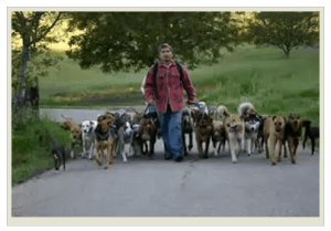 Цезарь Милан на прогулке со стаей собак