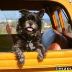 Непереносимость езды в транспорте и рвота у собак