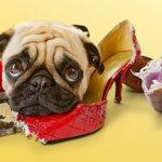5 советов как отучить собаку грызть вещи