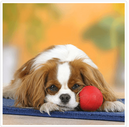 щенок скулит