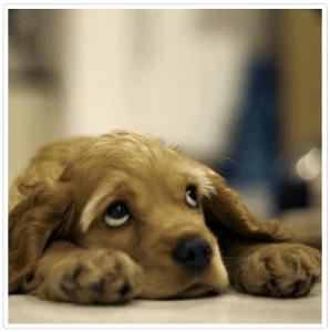 собака скулит