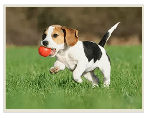 развитие щенка