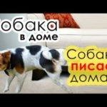 Как отучить собаку метить дома?