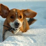 Гипотермия. Как избежать обморожения собак зимой