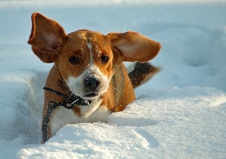 Как избежать обморожения собак зимой