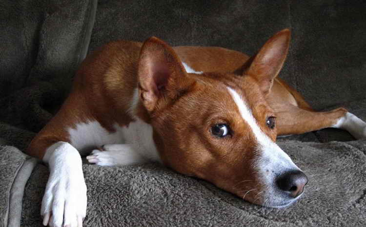 нелающая собака басенджи