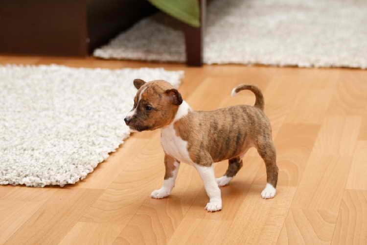 басенджи фото щенка