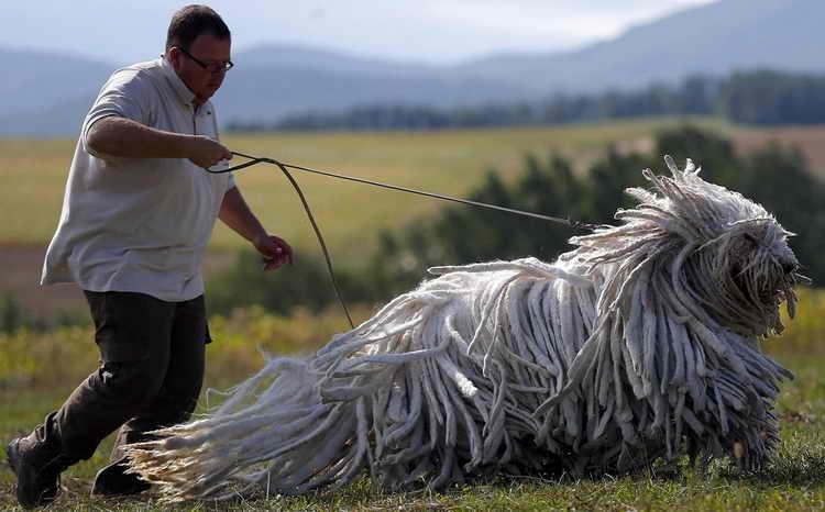 бергамская овчарка уход