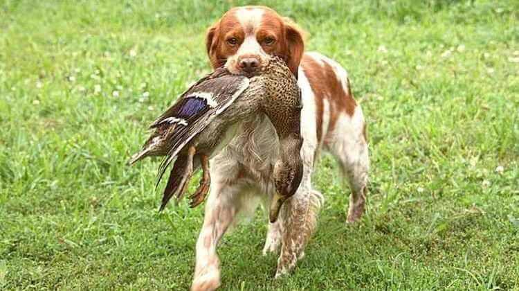 собака бретонский эпаньоль
