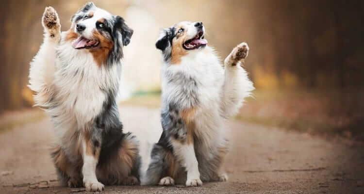 Характеристики собак породы австралийская овчарка