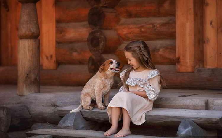 австралийская пастушья собака хилер