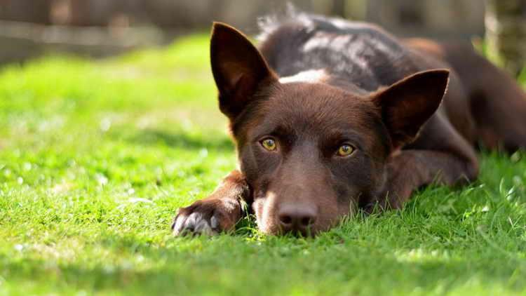 австралийский келпи щенки