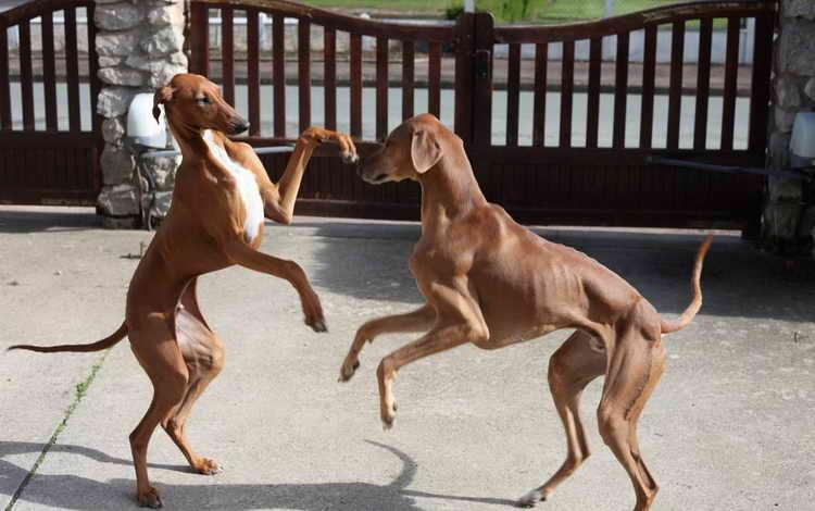 азавак порода собак