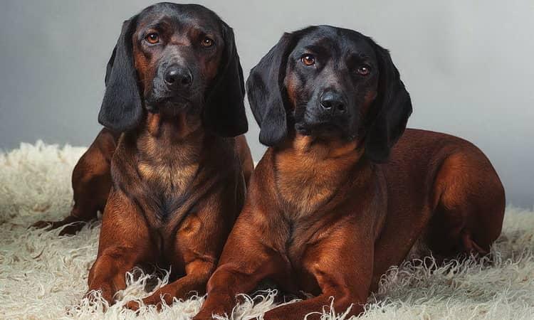 Собака баварская горная гончая