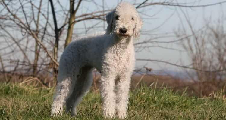 Плюсы и минусы породы собаки бедлингтон терьер