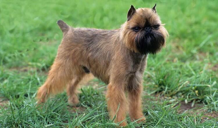 Особенности собаки бельгийский гриффон