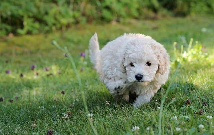 белый пудель фото щенка