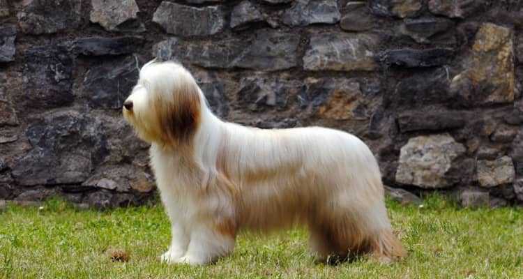Фото породы собаки бородатый колли