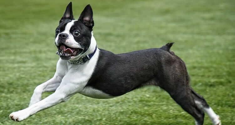 Характер собаки бостон терьера