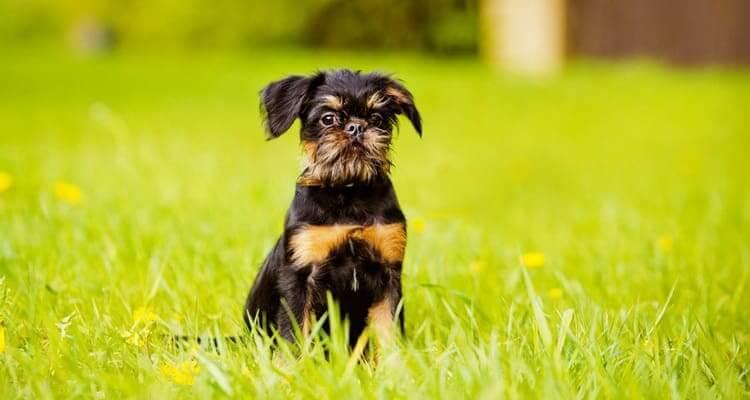 Как выбрать щенка брюссельского гриффона