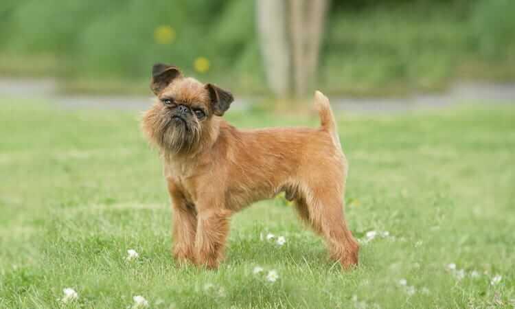 Характер собак брюссельский гриффон