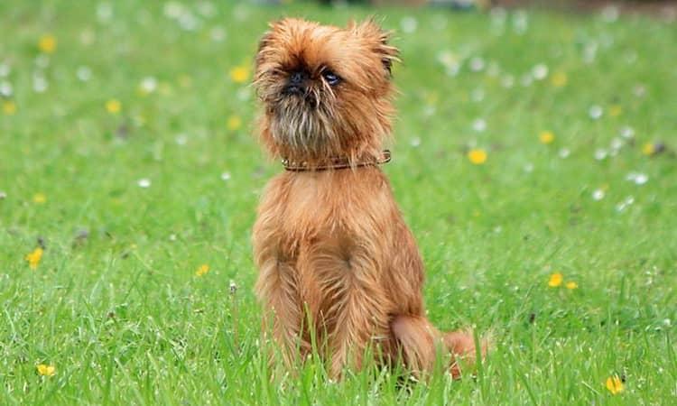 Характеристики собаки брюссельский гриффон