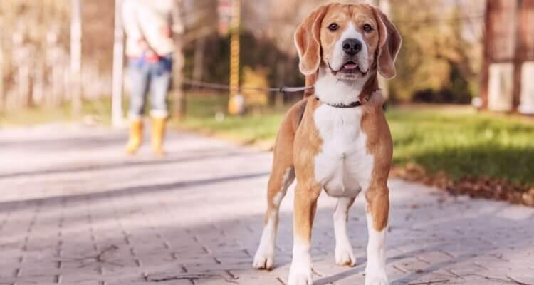 Характеристика породы собак харьер