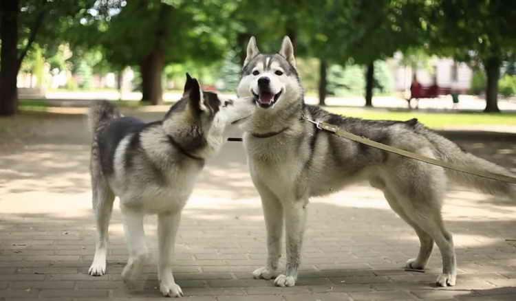 как выглядят собаки породы хаски