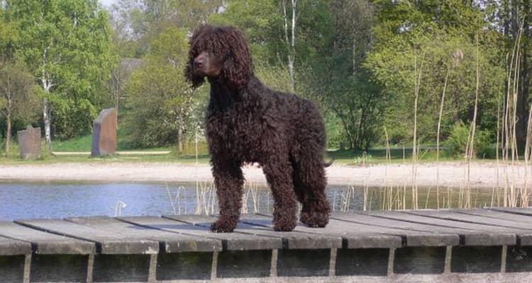 Плюсы и минусы породы собак ирландский водяной спаниель