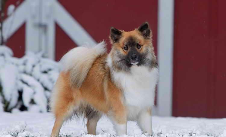 исландская собака порода