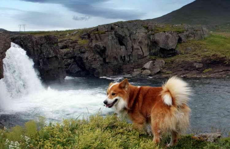 исландская собака фото щенка