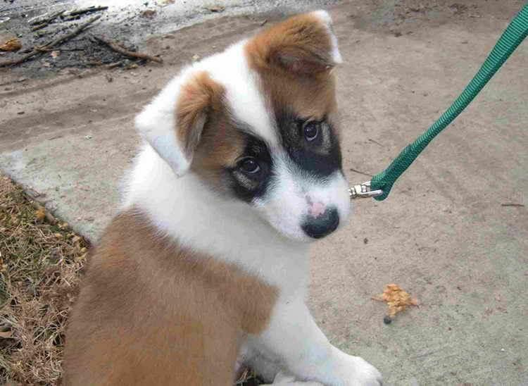 исландская собака фото щенок