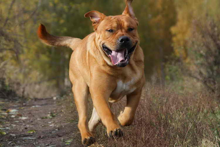 порода собак кадебо фото