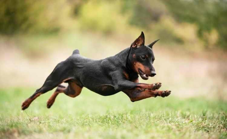 порода собак карликовый пинчер