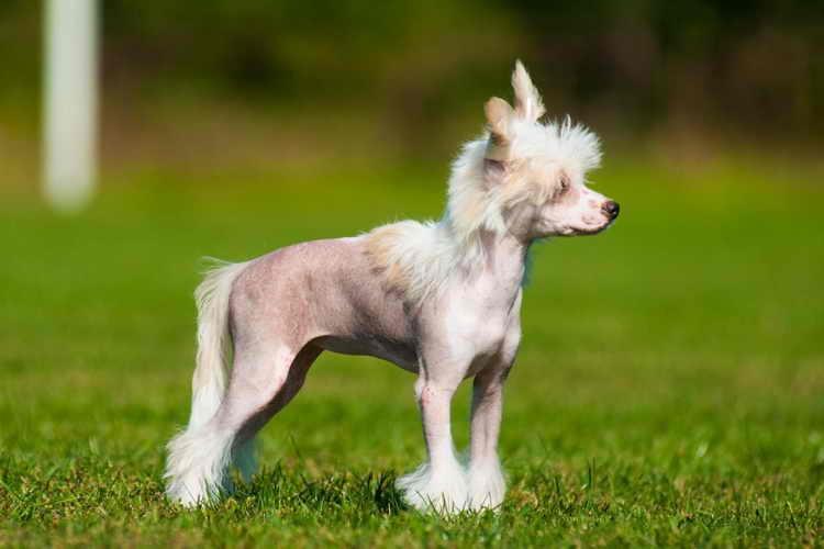 китайская лысая хохлатая собака