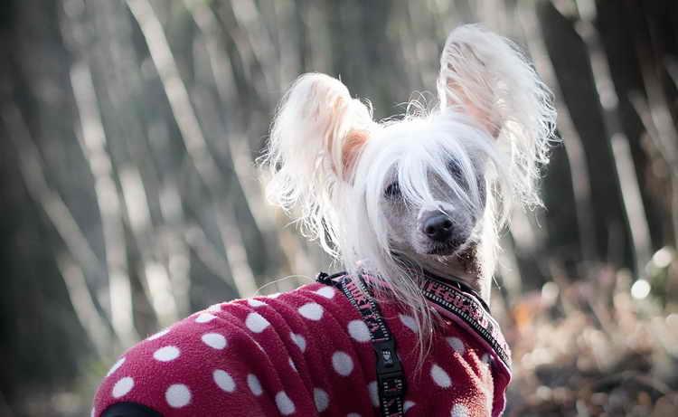 сколько живут китайские хохлатые собаки