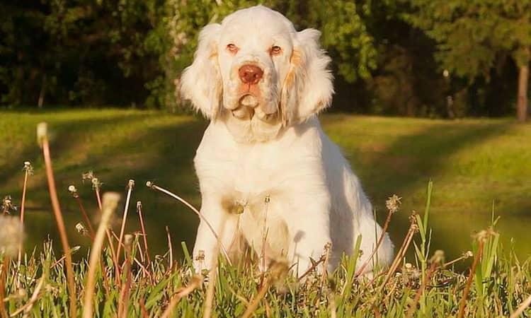Уход за щенками кламбер спаниель