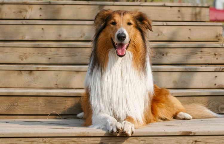 собака длинношерстная колли