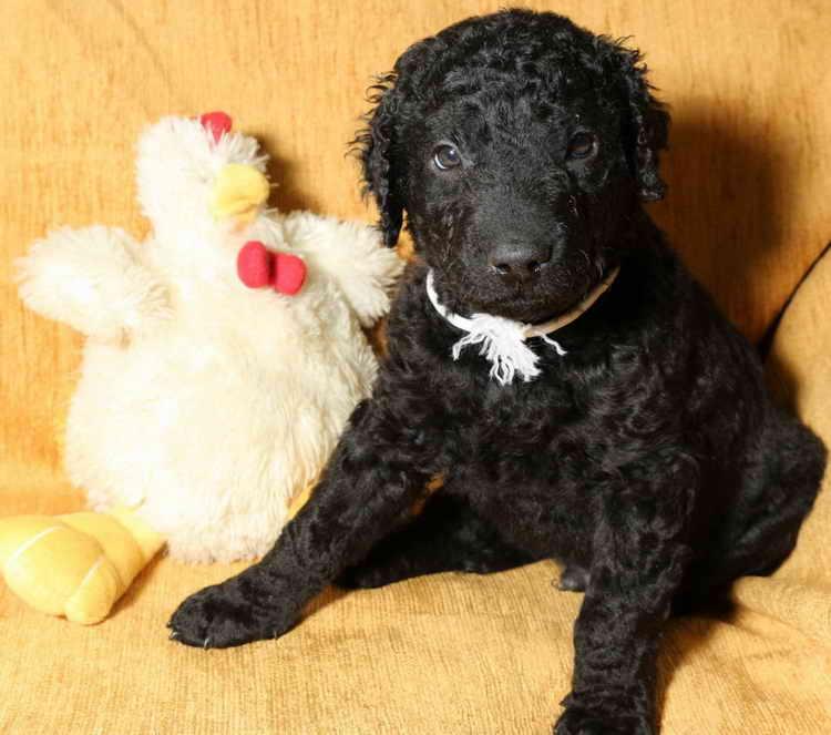 курчавошерстный ретривер фото щенка
