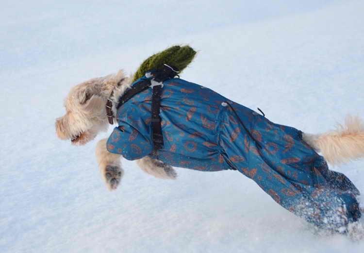 лабрадудель фото собаки