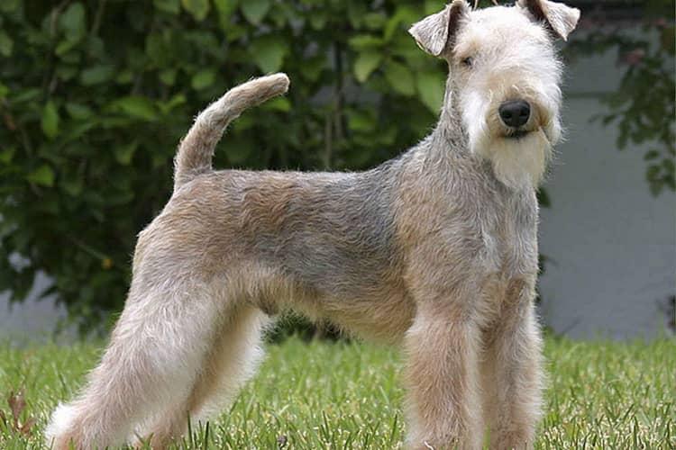 Характеристики собак лейкленд терьер