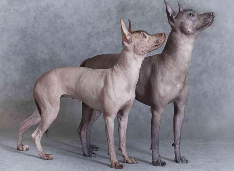 мексиканская голая собака ксолоитцкуинтли