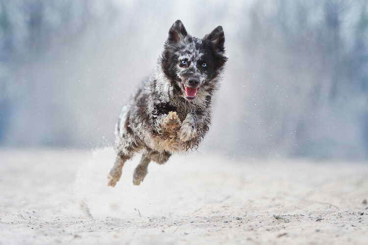 муди порода собак дрессировка