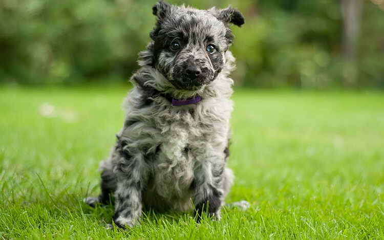 муди порода собак характер