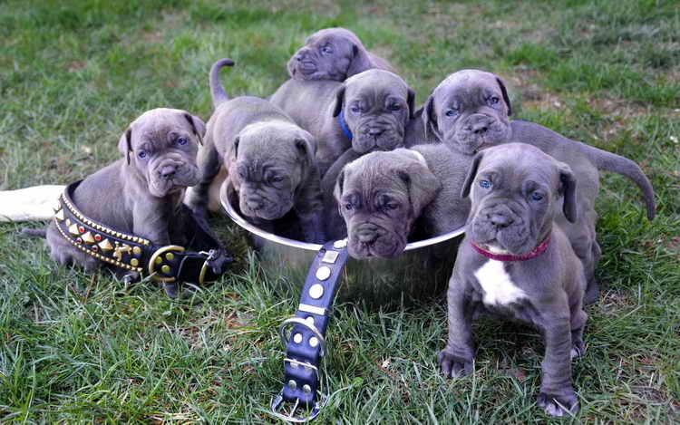 неаполитанский мастиф щенки