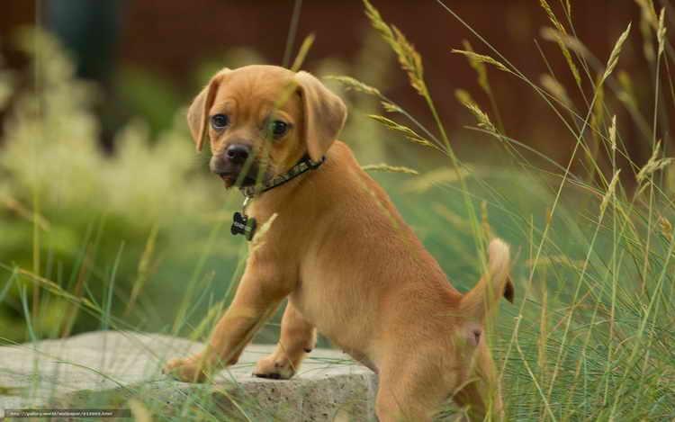 порода собак пагли