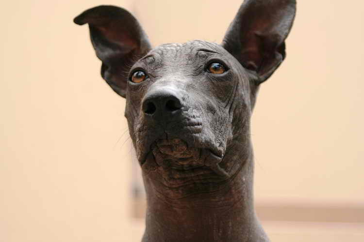 перуанская голая собака особенности