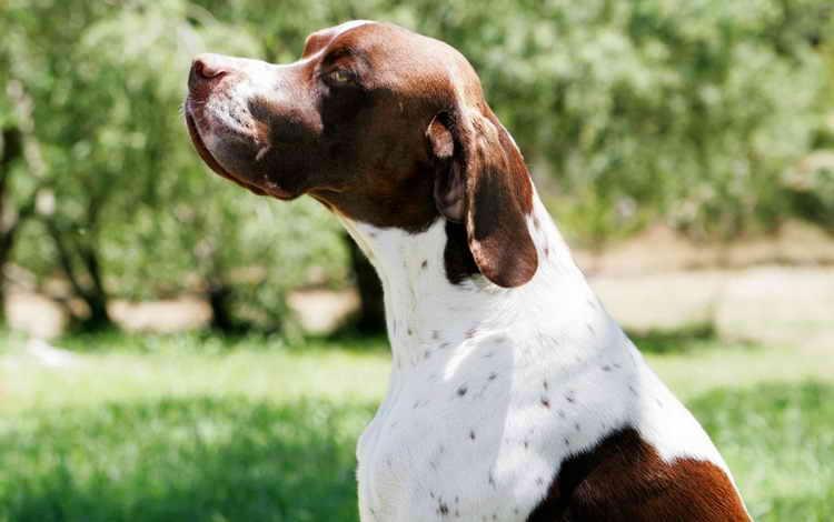 охотничьи собаки породы пойнтер